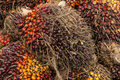 Oil palm fruits before processing in thailand Stock Photo