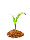 Oil palm sprout with soil Stock Photography