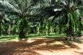Oil palm tree Stock Photos