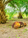 Oil palm tree ready for harvest Stock Photo
