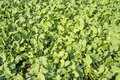 Oil radish, green manure Royalty Free Stock Photo