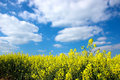 Oil Seed Rape Field Royalty Free Stock Photo