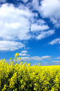 Oil Seed Rape Field Royalty Free Stock Image