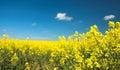 Oil Seed Rape Field Royalty Free Stock Photo