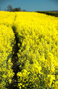 Oil Seed Rape Field Stock Photos