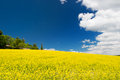 Oil seed rape field against blue sky Royalty Free Stock Photo