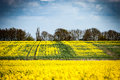Oil seed rape Royalty Free Stock Photo