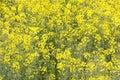 Oil seed rape plants in bloom full frame Royalty Free Stock Photo