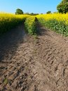Oilseed crop Stock Photography