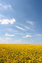 Oilseed rape Royalty Free Stock Photography