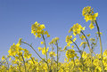 Oilseed Rape Stock Photos