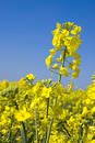 Oilseed rape 7 Stock Image
