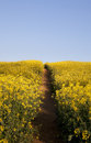 Oilseed Rape Background Royalty Free Stock Photo
