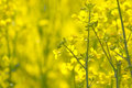 Oilseed rape blooming close up of Stock Photography