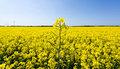 Oilseed rape blossoms Royalty Free Stock Photo