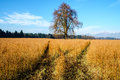 Oilseed Rape Brassica napus, plants Royalty Free Stock Photo
