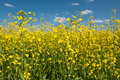 Oilseed rape canola with blue sky Royalty Free Stock Photo