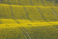 Oilseed Rape Crop in Rolling Hills with Tractor Tracks Royalty Free Stock Images