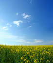 Oilseed rape field Stock Images