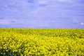 Oilseed rape field late afternoon sun lights up an Royalty Free Stock Image