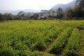 Oilseed rape field in shanchong village zhangzhou city china Royalty Free Stock Photography