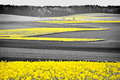 Oilseed Rape Field Royalty Free Stock Photo