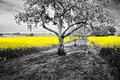 Oilseed rape field shining yellow fields in a black and white landscape Royalty Free Stock Photography