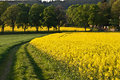 Oilseed rape field yellow with trees Stock Photos