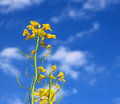Oilseed flowers Royalty Free Stock Photo