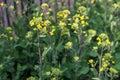 Oilseed rape flowers Royalty Free Stock Photo