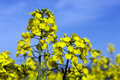 Oilseed Rape - Rape Seed Oil - Farming Royalty Free Stock Photo