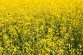 Oilseed rape yellow canola field Stock Photography