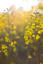 Oilseed rape yellow with flare Stock Photography