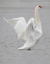Oiseau de cygne Photo stock