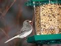 Oiseau observé foncé de Junco Image libre de droits
