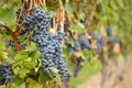 Okanagan Grapes Ready for Harvest Royalty Free Stock Photography