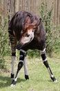 Okapi Royalty Free Stock Photos