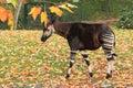 Okapi Royalty Free Stock Photo