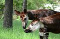 Okapi pair3 Royalty Free Stock Images