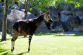 Okapi Urinating Royalty Free Stock Photography