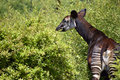 Okapi in the vegetation okapia johnstoni viewed from behind among Royalty Free Stock Photos