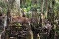Okefenokee Swamp Whitetailed D...