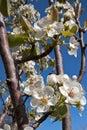 Oklahoma Pear Blossoms