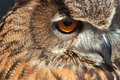 Oko sowa Obraz Royalty Free