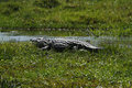 Okovango delta crocodile true crocodiles are large aquatic reptiles Stock Photography
