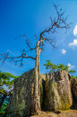 Old and ancient dry tree on top of mountain Royalty Free Stock Photos
