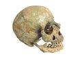 Old archaeological find human skull cranium isolated on white background Stock Image