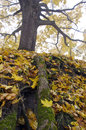Old autumn maple roots in park and leaves big Royalty Free Stock Image
