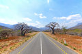 Old Baobab Trees along straight road Stock Photography