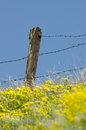 An old barbed wire fence in yellow flowers Royalty Free Stock Photo